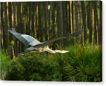 Canvas Print featuring the photograph Heron In Flight by Rick Frost