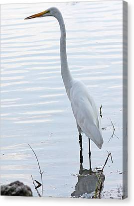 Heron Reflection Canvas Print by Becky Lodes