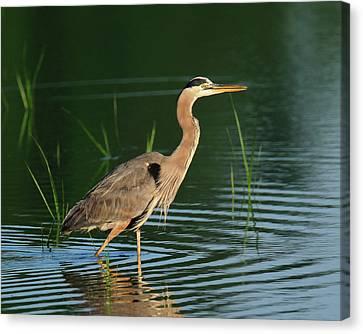 Heron Sunrise Canvas Print