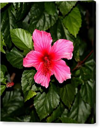 Canvas Print featuring the photograph Hibiscus   by Elizabeth  Doran