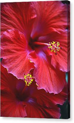 Hibiscus Duo Canvas Print by Sandi OReilly