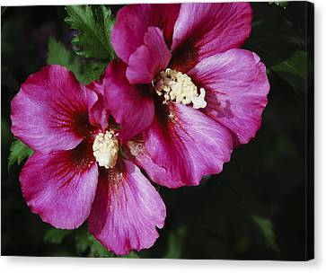 Hibiscus Flowers Canvas Print