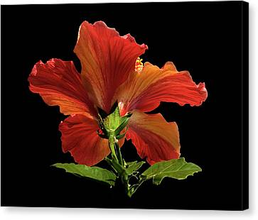 Canvas Print featuring the photograph Hibiscus by Geraldine Alexander