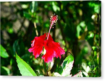 Canvas Print featuring the photograph Hibiscus by Pravine Chester