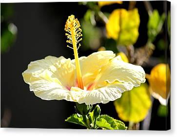 Hibiscus Rising Canvas Print