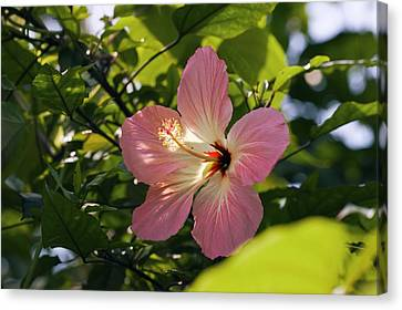 Hibiscus Rosa-sinensis Canvas Print by Dr Keith Wheeler