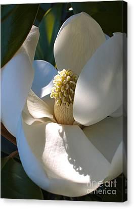 Hidden Magnolia Canvas Print by Carol Groenen