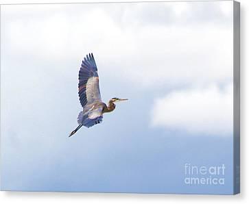 High Flying Blue Heron  Canvas Print by John  Kolenberg