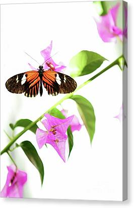High Key Piano Key Butterfly Canvas Print by Sabrina L Ryan
