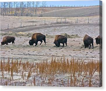 Canvas Print featuring the photograph High Plains Buffalo by Brian Sereda