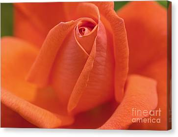 High Sheriff Rose Canvas Print by Image It Foto