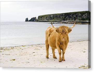 Highland Cow On A Beach Canvas Print by Duncan Shaw