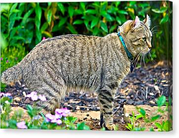 Highland Lynx Cat In Garden Canvas Print by Susan Leggett