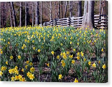 Hills Of Daffodils Canvas Print by Betty Northcutt