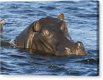 Hippopotamus Hippopotamus Amphibius Canvas Print by Suzi Eszterhas