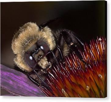 Histute Bee Canvas Print by Charles Dana