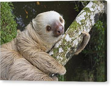 Hoffmanns Two-toed Sloth Costa Rica Canvas Print by Suzi Eszterhas
