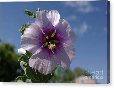 Holly Hock Canvas Print by Harvey Heikkila