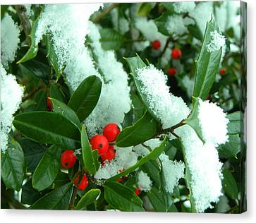 Holly In Snow Canvas Print by Sandi OReilly