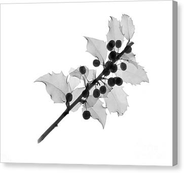 Holly Berry Still Life Canvas Print - Holly by Ted Kinsman