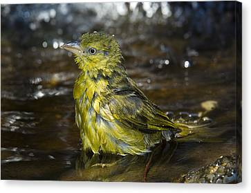 Holub's Golden Weaver Canvas Print by Tony Camacho