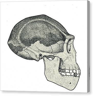 Homo Erectus Skull Canvas Print by Sheila Terry