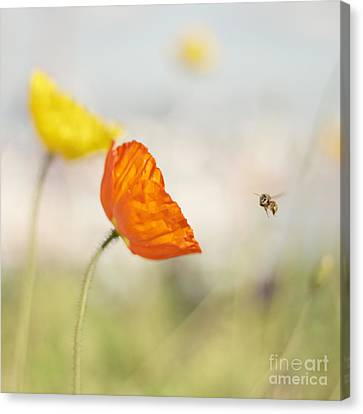 Honey Bee And Colorful Poppies Canvas Print