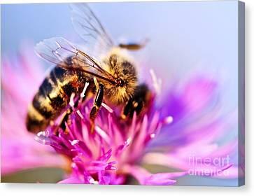 Honey Bee  Canvas Print by Elena Elisseeva