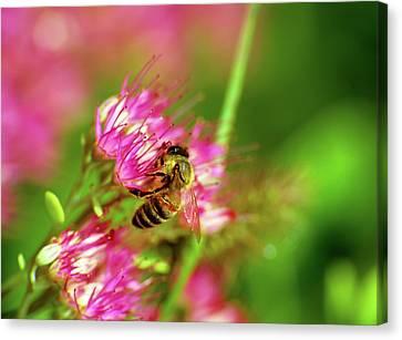 Honey Bee Lands Canvas Print