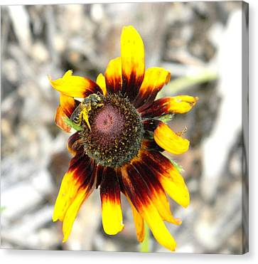 Canvas Print featuring the photograph Honey Bee On Yellow Daisy by Jodi Terracina