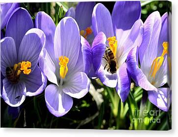 Honeybees Working Crocus Canvas Print by Thomas R Fletcher