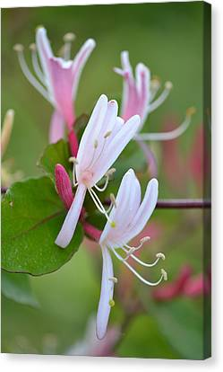 Canvas Print featuring the photograph Honeysuckle by JD Grimes
