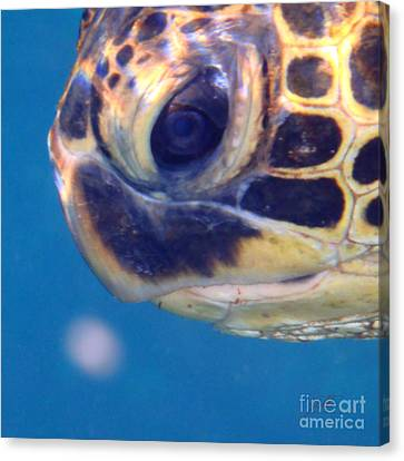 Canvas Print featuring the photograph Honu Ho'okalakupua by Suzette Kallen