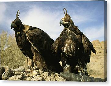 Hooded Eagles Stand Ready For Hunting Canvas Print by Ed George