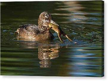 Hooded Merganser And Bullfrog Canvas Print by Mircea Costina Photography