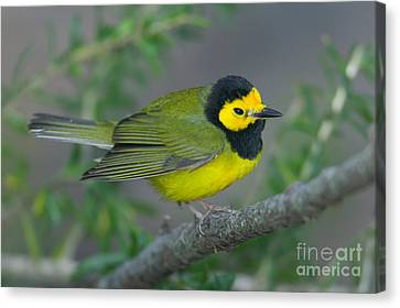 Hooded Warbler Canvas Print by Clarence Holmes