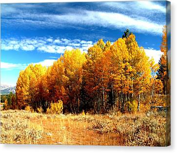 Hope Valley Aspens Canvas Print by Michael Courtney