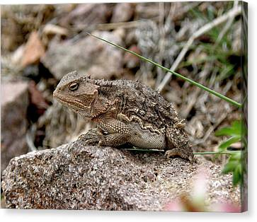 Horned Toad Canvas Print by FeVa  Fotos
