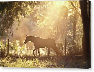 Horse Backlit At Sunset Canvas Print by Seth Christie