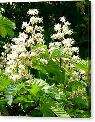 Horse Chestnut Blossoms Canvas Print by Will Borden