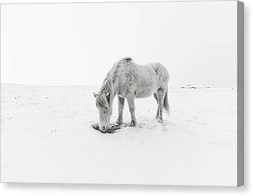 Horse Grazing In Snow Canvas Print by Ingólfur Bjargmundsson