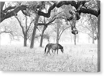 Horse In Foggy Field Of Oaks Canvas Print by CML Brown