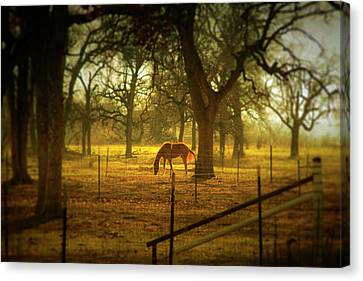 Horse In Morning Sun Eating Grass Canvas Print
