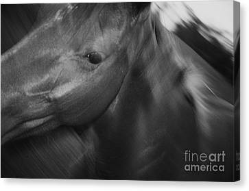 Horse On The Run Canvas Print by Priscilla Monger
