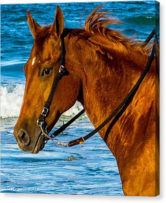 Horse Portrait  Canvas Print by Shannon Harrington