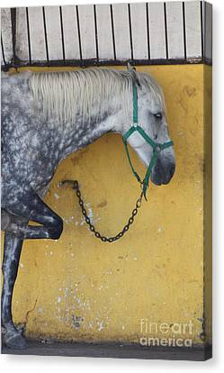 Horse  Canvas Print by Rogerio Mariani
