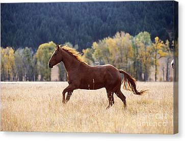 Horse Running Canvas Print by Alan and Sandy Carey and Photo Researchers