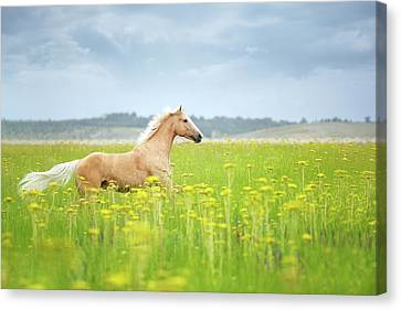 Horse Running In Field Canvas Print by Arman Zhenikeyev - professional photographer from Kazakhstan