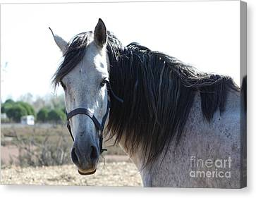 Horse With A Look  Canvas Print