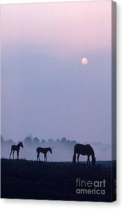 Horses In Kentucky Canvas Print by Frederica Georgia and Photo Researchers